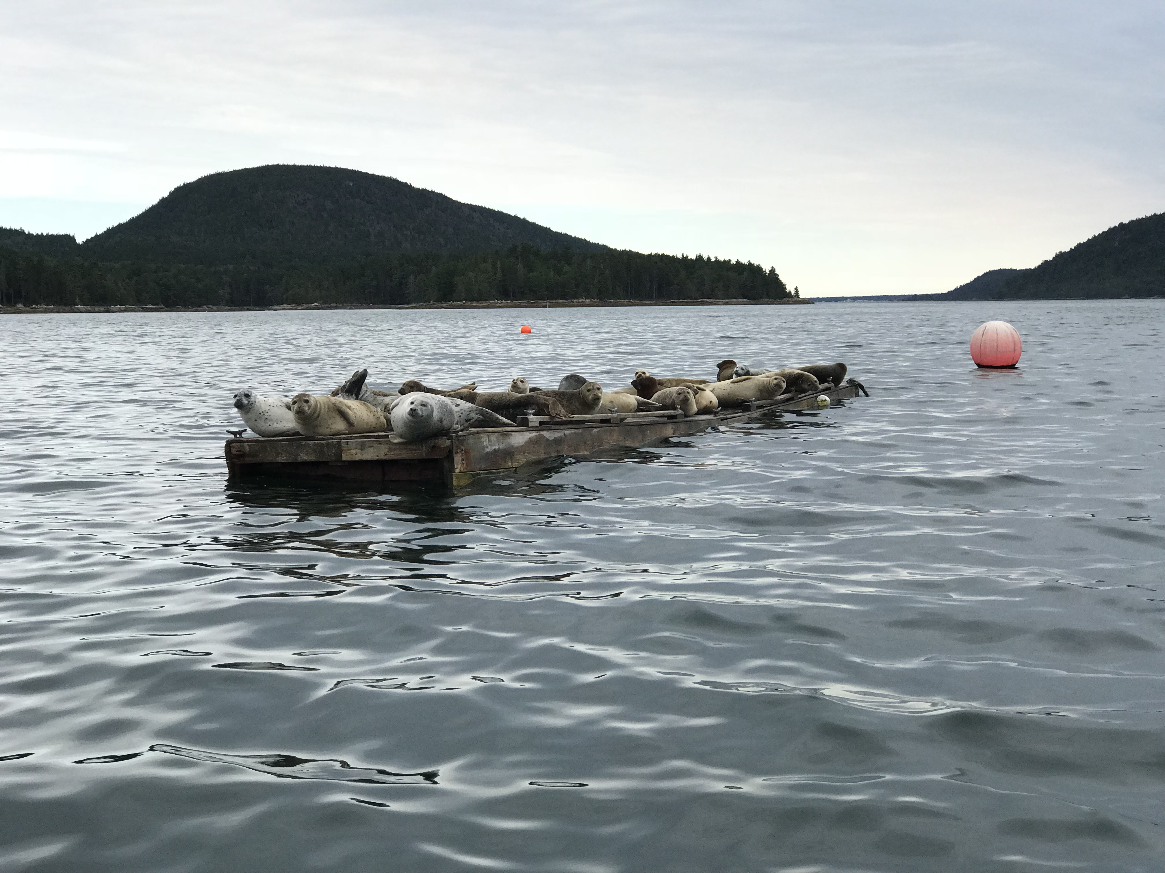 Seals on Somes Sound